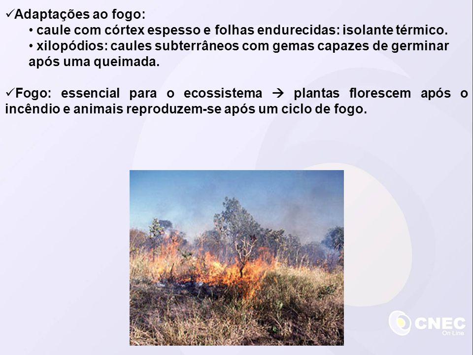 Adaptações ao fogo: caule com córtex espesso e folhas endurecidas: isolante térmico. xilopódios: caules subterrâneos com gemas capazes de germinar apó