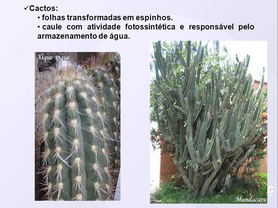 Cactos: folhas transformadas em espinhos. caule com atividade fotossintética e responsável pelo armazenamento de água. Mandacaru Xique-xique