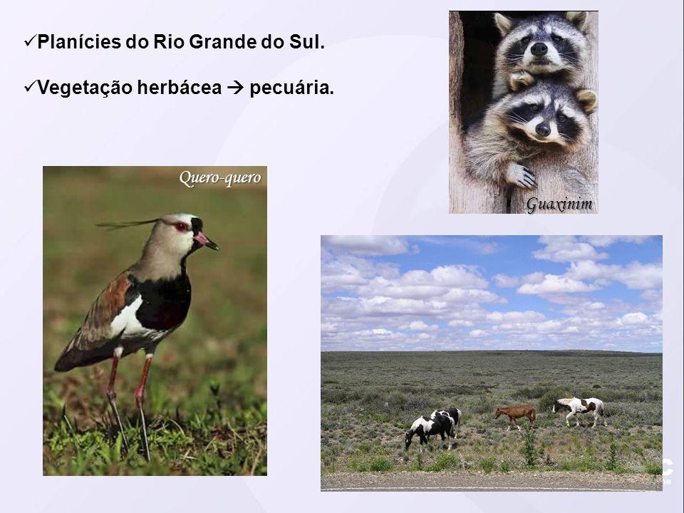 Planícies do Rio Grande do Sul. Vegetação herbácea  pecuária. Quero-quero Guaxinim