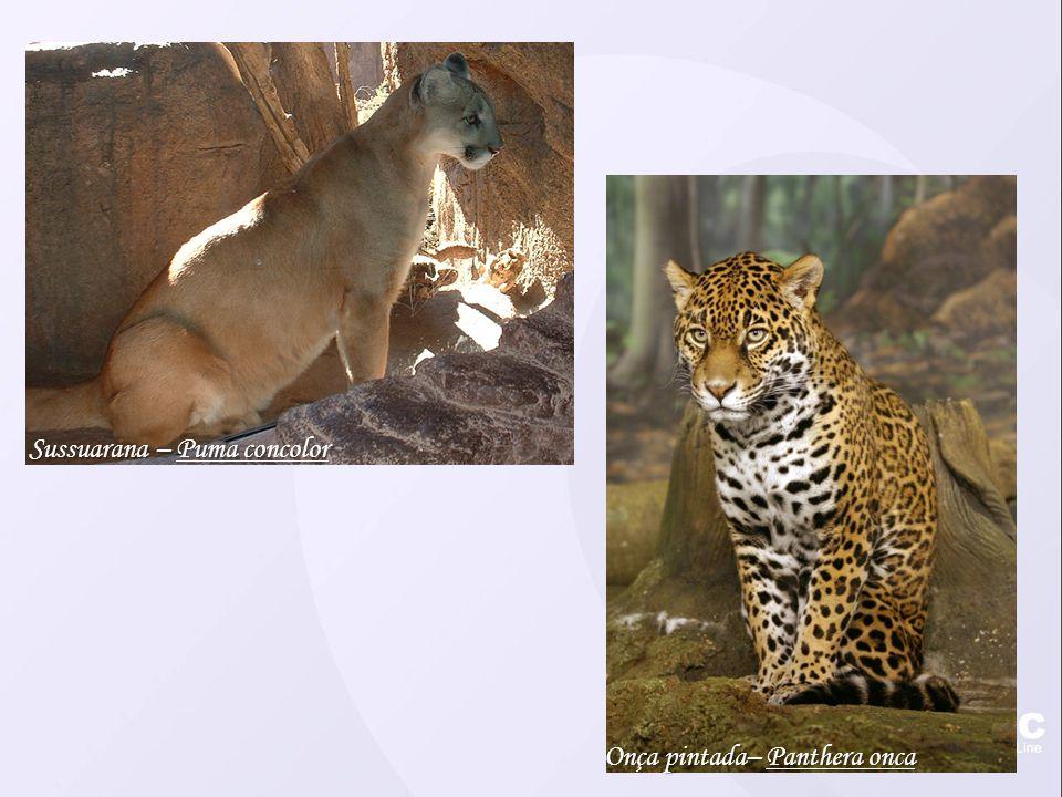 Sussuarana – Puma concolor Onça pintada– Panthera onca