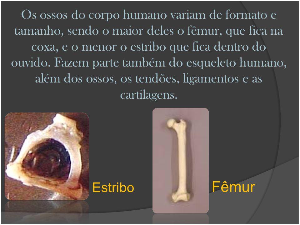 Os ossos do corpo humano variam de formato e tamanho, sendo o maior deles o fêmur, que fica na coxa, e o menor o estribo que fica dentro do ouvido. Fa