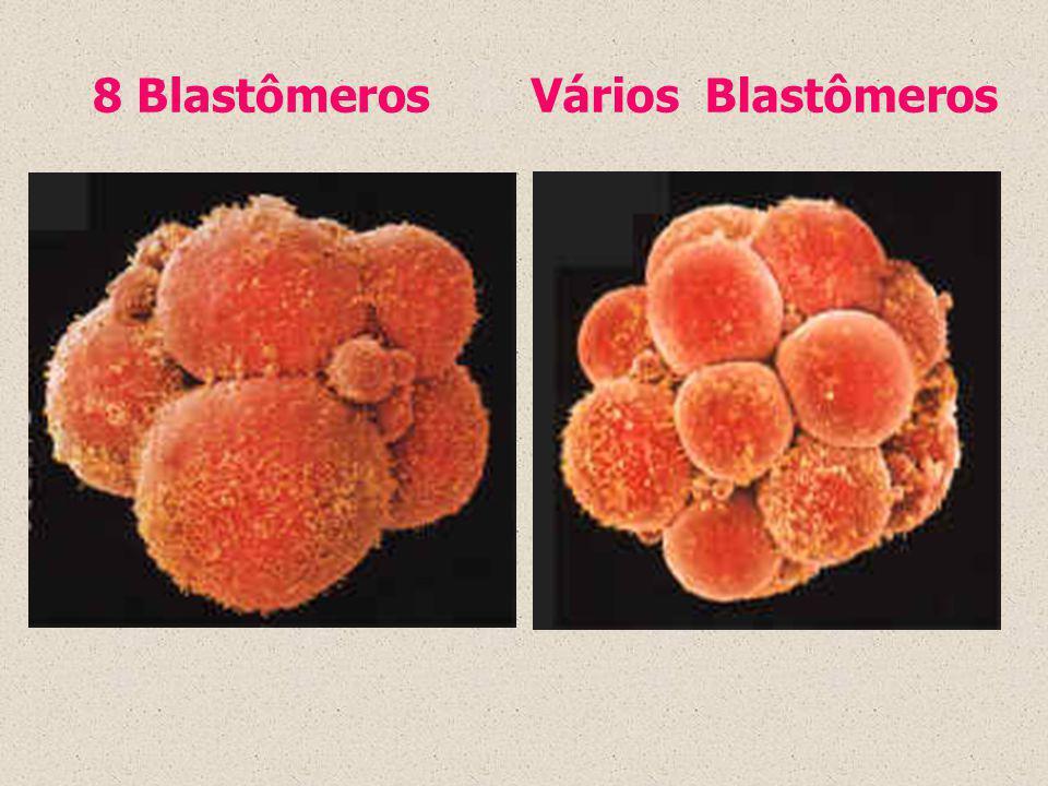 8 BlastômerosVários Blastômeros