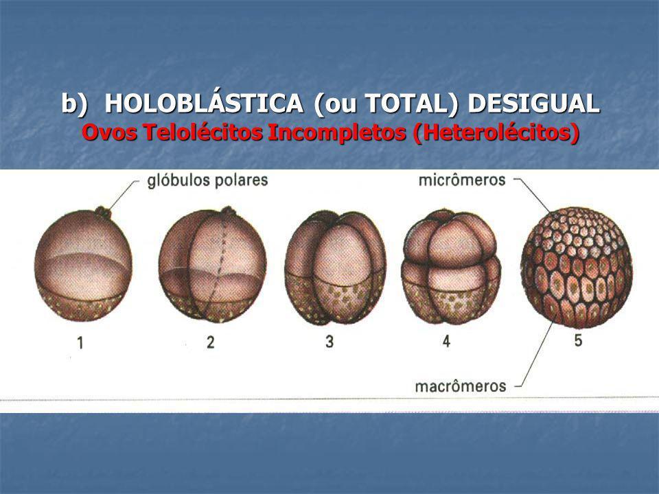 b) HOLOBLÁSTICA (ou TOTAL) DESIGUAL Ovos Telolécitos Incompletos (Heterolécitos)