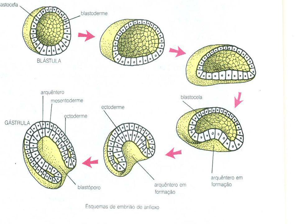 OBS: em alguns grupos animais surge OBS: em alguns grupos animais surge uma CAVIDADE dentro do MESODERME: uma CAVIDADE dentro do MESODERME: CELOMA CELOMA Cavidade Torácica e Cavidade Torácica e Abdominal Abdominal