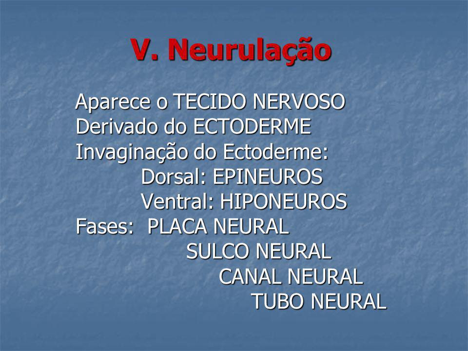 V. Neurulação Aparece o TECIDO NERVOSO Aparece o TECIDO NERVOSO Derivado do ECTODERME Derivado do ECTODERME Invaginação do Ectoderme: Invaginação do E