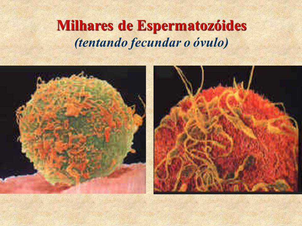 Milhares de Espermatozóides (tentando fecundar o óvulo)