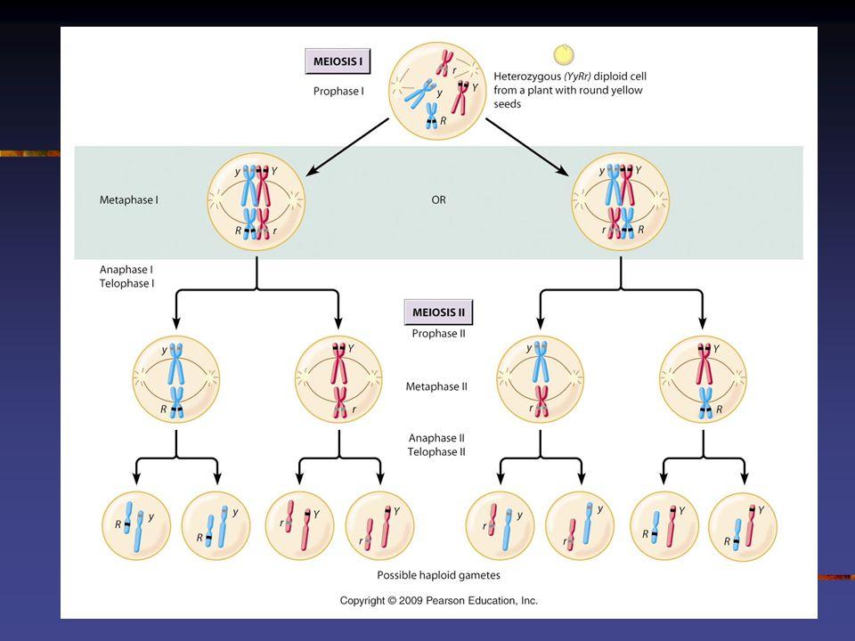 L EIS DE M ENDEL Os dois alelos de cada gene presente em um indivíduo segregam-se (separam-se) na formação dos gametas Os alelos de dois ou mais genes