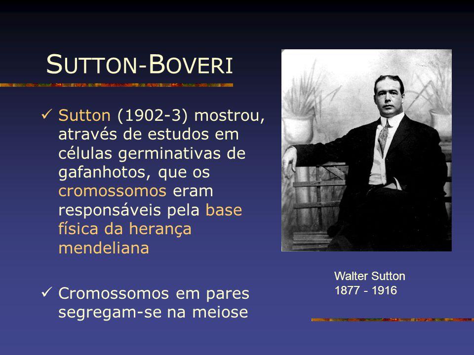 S UTTON- B OVERI Sutton (1902-3) mostrou, através de estudos em células germinativas de gafanhotos, que os cromossomos eram responsáveis pela base fís