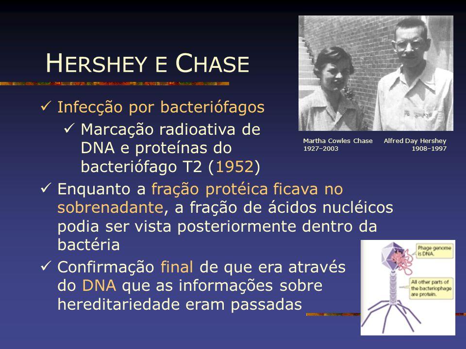 H ERSHEY E C HASE Infecção por bacteriófagos Marcação radioativa de DNA e proteínas do bacteriófago T2 (1952) Enquanto a fração protéica ficava no sob