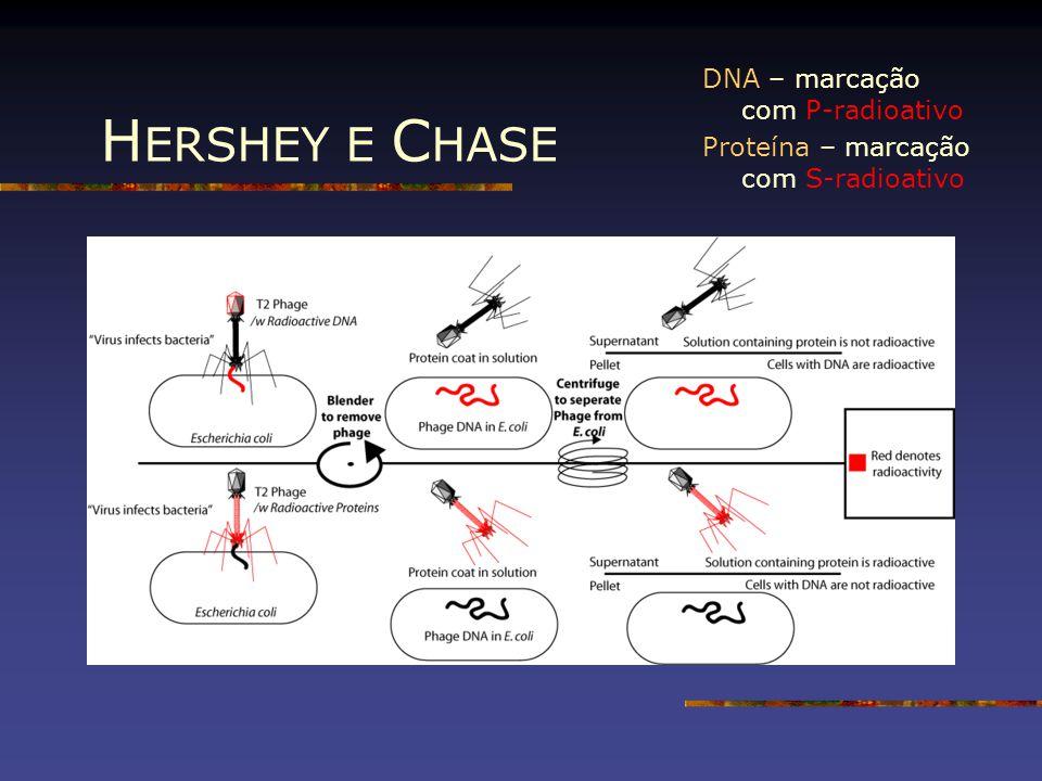 H ERSHEY E C HASE DNA – marcação com P-radioativo Proteína – marcação com S-radioativo