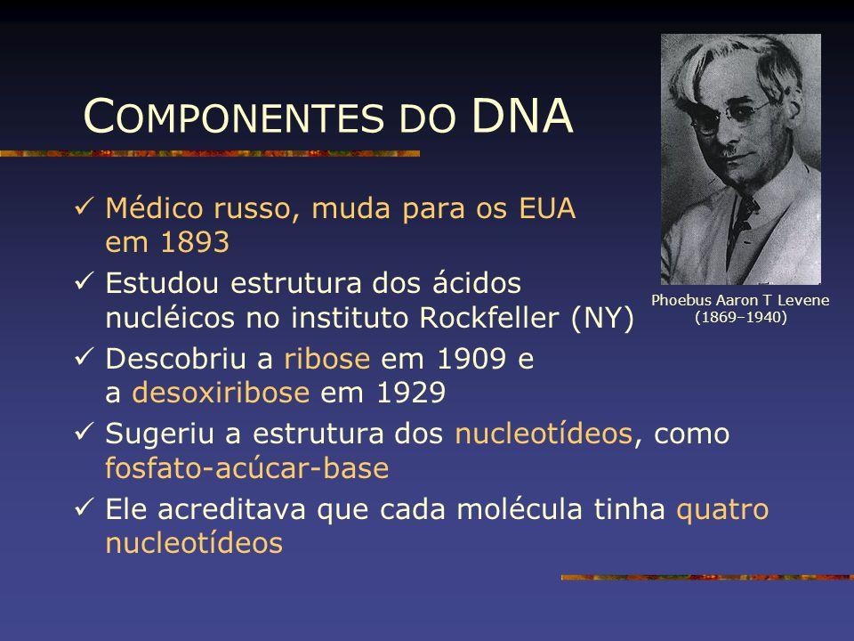 C OMPONENTES DO DNA Médico russo, muda para os EUA em 1893 Estudou estrutura dos ácidos nucléicos no instituto Rockfeller (NY) Descobriu a ribose em 1