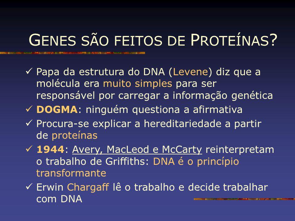 G ENES SÃO FEITOS DE P ROTEÍNAS ? Papa da estrutura do DNA (Levene) diz que a molécula era muito simples para ser responsável por carregar a informaçã