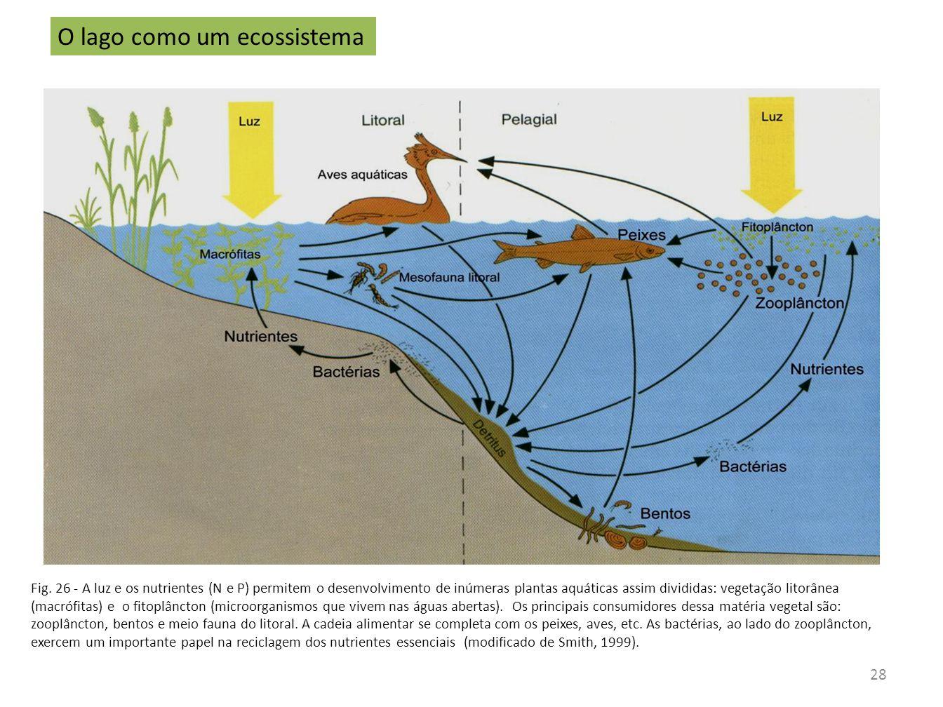 Fig. 26 - A luz e os nutrientes (N e P) permitem o desenvolvimento de inúmeras plantas aquáticas assim divididas: vegetação litorânea (macrófitas) e o