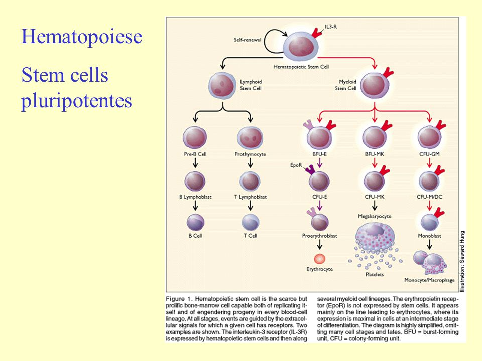 Hematopoiese Stem cells pluripotentes