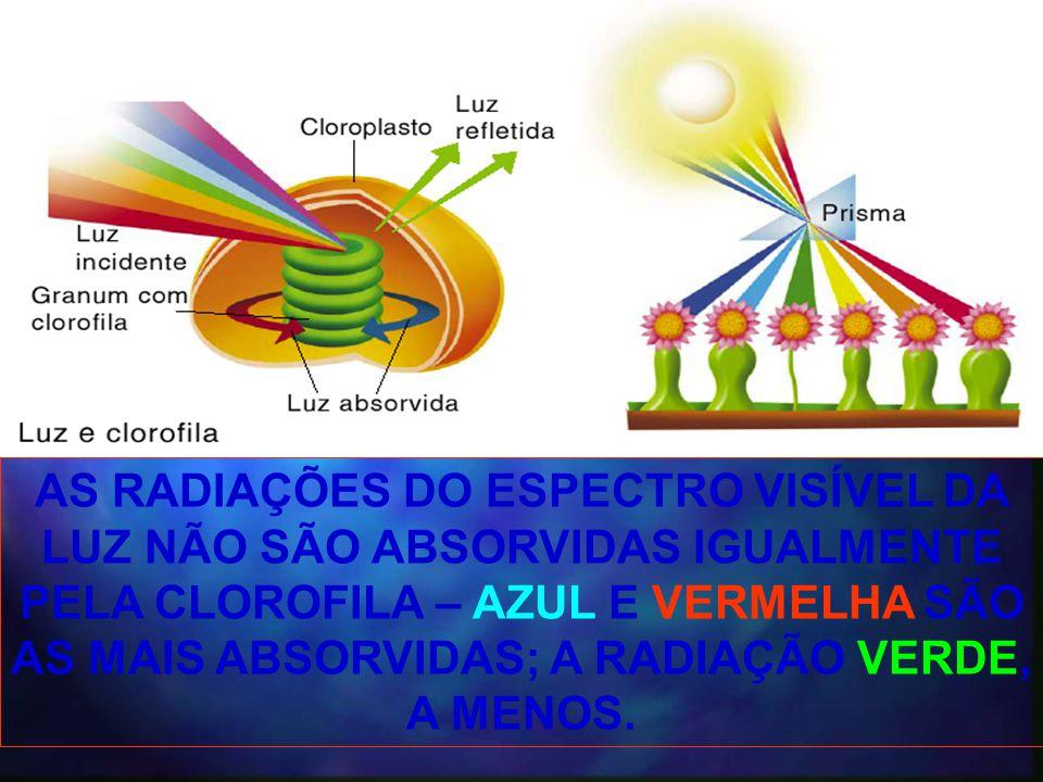 AS RADIAÇÕES DO ESPECTRO VISÍVEL DA LUZ NÃO SÃO ABSORVIDAS IGUALMENTE PELA CLOROFILA – AZUL E VERMELHA SÃO AS MAIS ABSORVIDAS; A RADIAÇÃO VERDE, A MEN