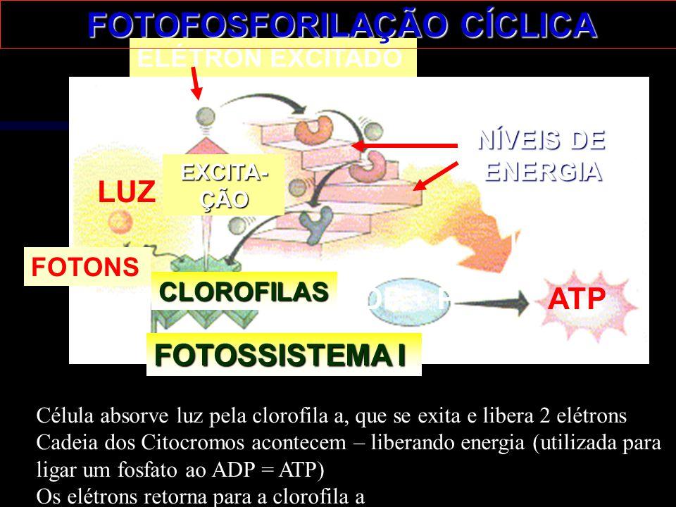 LUZ FOTONS FOTOSSISTEMA I EXCITA-ÇÃO ELÉTRON EXCITADO TRANSPORTE NÍVEIS DE ENERGIA ENERGIA ENERGIA LIBERADA ADP + P ATP CLOROFILAS FOTOFOSFORILAÇÃO CÍ