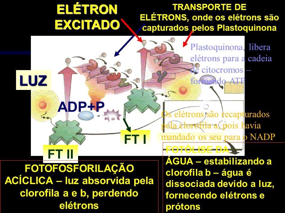 OXIGÊNIO H+ E FOTÓLISE DA ÁGUA – estabilizando a clorofila b – água é dissociada devido a luz, fornecendo elétrons e prótons LUZ FT IIELÉTRONEXCITADO