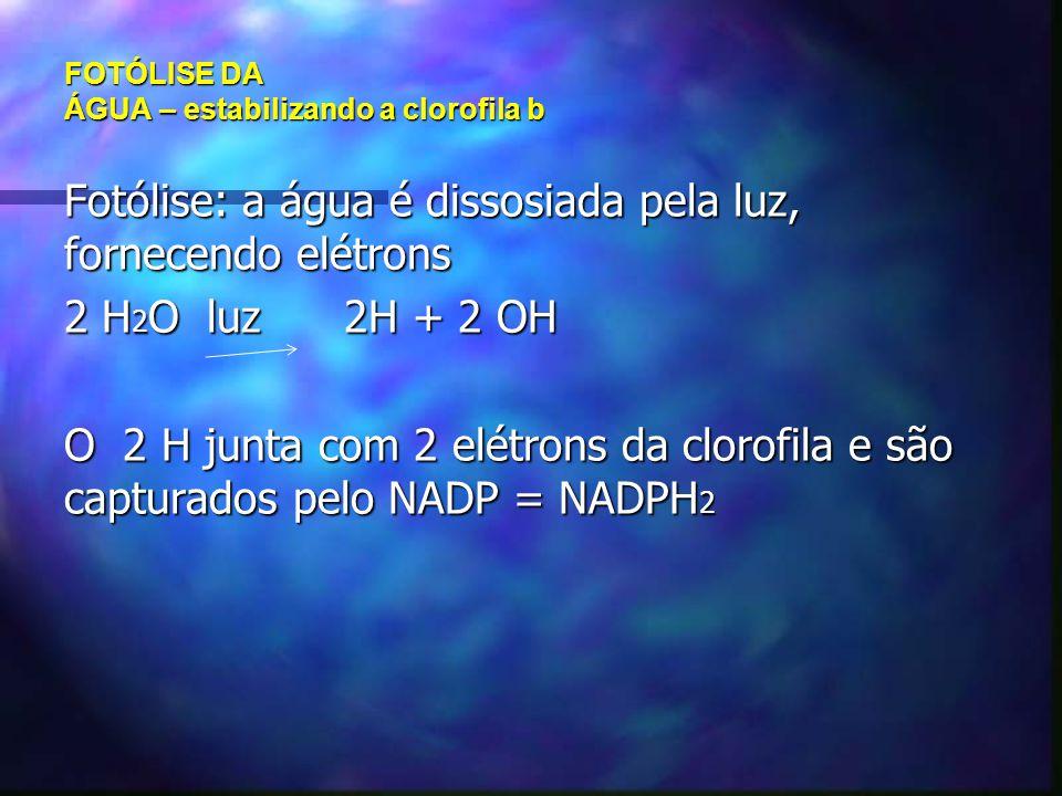 FOTÓLISE DA ÁGUA – estabilizando a clorofila b Fotólise: a água é dissosiada pela luz, fornecendo elétrons 2 H 2 O luz 2H + 2 OH O 2 H junta com 2 elé