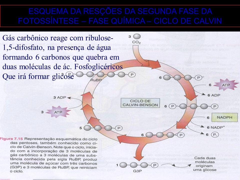 ESQUEMA DA RESÇÕES DA SEGUNDA FASE DA FOTOSSÍNTESE – FASE QUÍMICA – CICLO DE CALVIN Gás carbônico reage com ribulose- 1,5-difosfato, na presença de ág