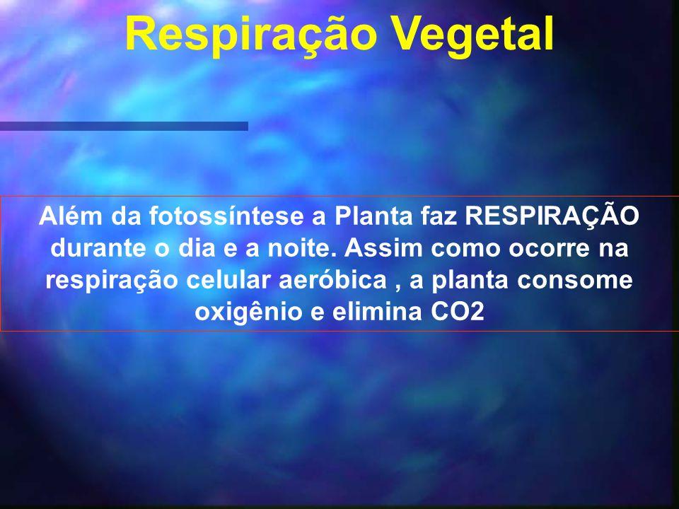 Respiração Vegetal Além da fotossíntese a Planta faz RESPIRAÇÃO durante o dia e a noite. Assim como ocorre na respiração celular aeróbica, a planta co