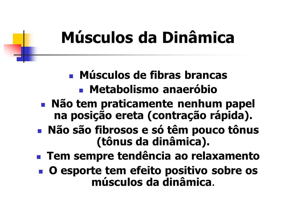 Músculos da Dinâmica Músculos de fibras brancas Metabolismo anaeróbio Não tem praticamente nenhum papel na posição ereta (contração rápida). Não são f