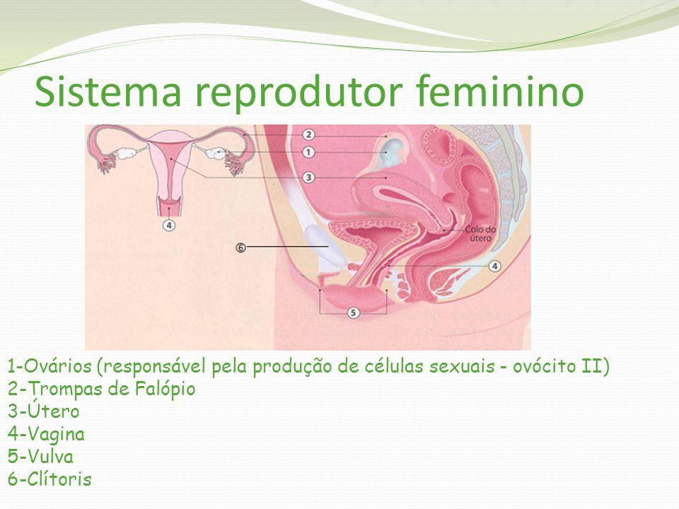 Sistema reprodutor feminino 1-Ovários (responsável pela produção de células sexuais - ovócito II) 2-Trompas de Falópio 3-Útero 4-Vagina 5-Vulva 6-Clítoris