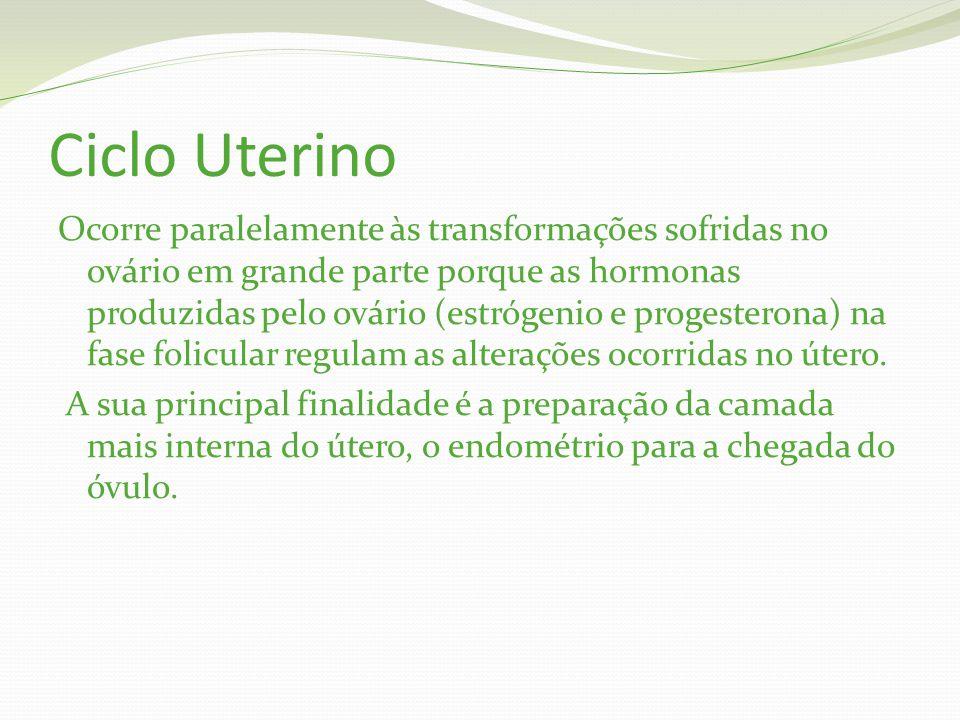 Ciclo Uterino Ocorre paralelamente às transformações sofridas no ovário em grande parte porque as hormonas produzidas pelo ovário (estrógenio e progesterona) na fase folicular regulam as alterações ocorridas no útero.
