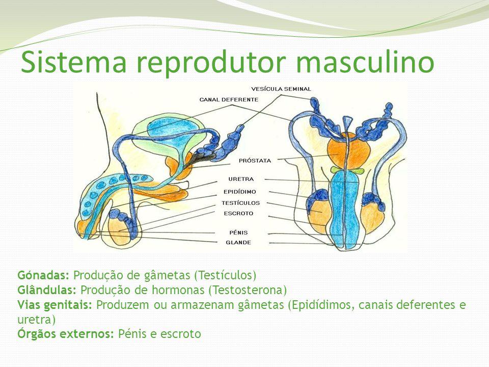 Sistema reprodutor masculino Gónadas: Produção de gâmetas (Testículos) Glândulas: Produção de hormonas (Testosterona) Vias genitais: Produzem ou armazenam gâmetas (Epidídimos, canais deferentes e uretra) Órgãos externos: Pénis e escroto