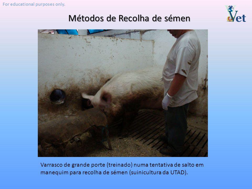 For educational purposes only. Métodos de Recolha de sémen Varrasco de grande porte (treinado) numa tentativa de salto em manequim para recolha de sém