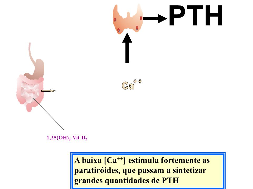 A baixa [Ca ++ ] estimula fortemente as paratiróides, que passam a sintetizar grandes quantidades de PTH PTH 1,25(OH) 2 -Vit D 3