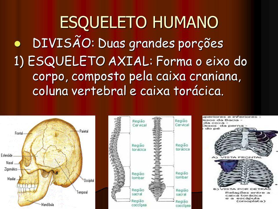 ESQUELETO HUMANO DIVISÃO: Duas grandes porções DIVISÃO: Duas grandes porções 1) ESQUELETO AXIAL: Forma o eixo do corpo, composto pela caixa craniana,