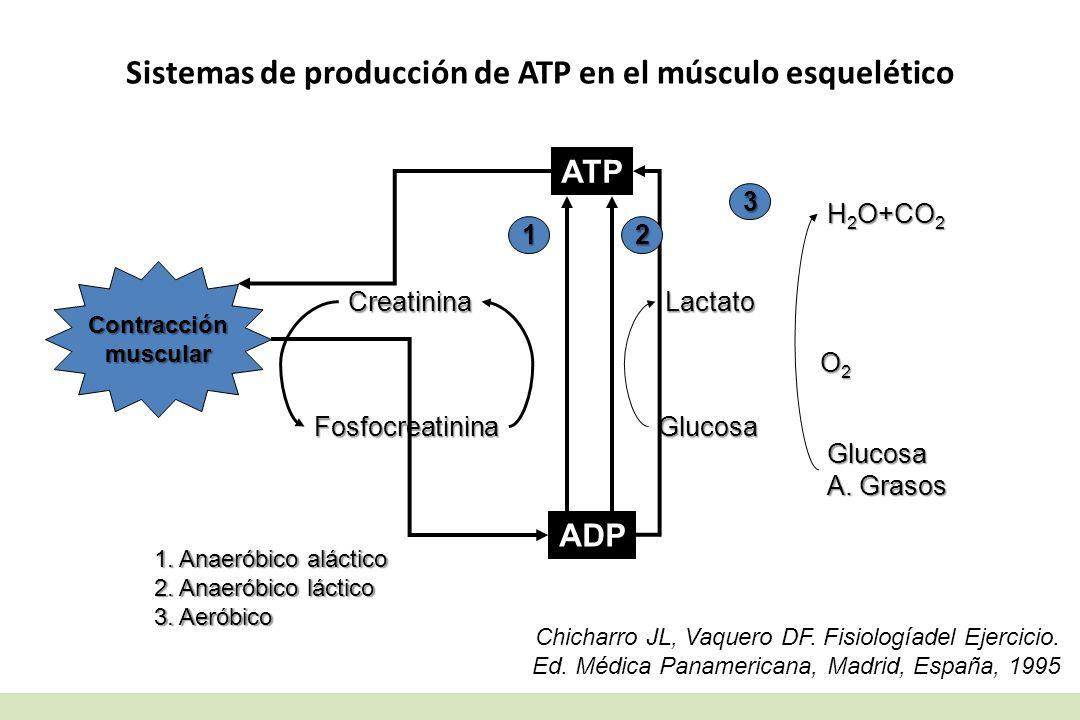 Sistemas de producción de ATP en el músculo esquelético ATP ADP Contracciónmuscular Lactato Glucosa Creatinina Fosfocreatinina H 2 O+CO 2 O2O2O2O2 Glu