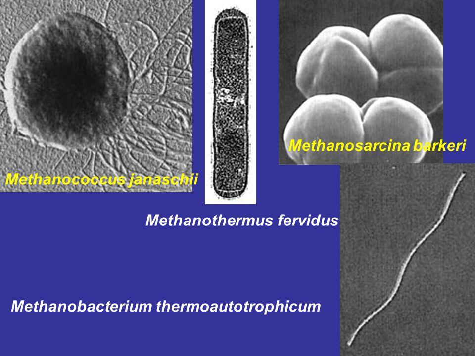 Methanosarcina barkeri Methanococcus janaschii Methanothermus fervidus Methanobacterium thermoautotrophicum