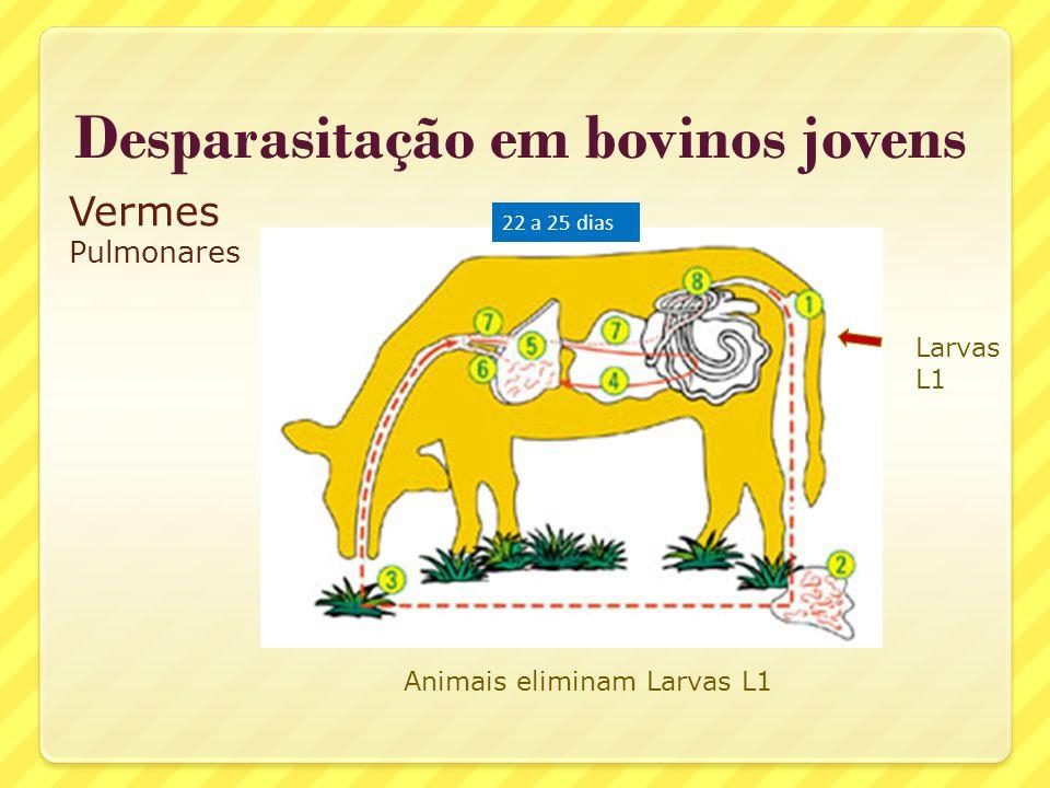 Desparasitação em bovinos jovens Vermes Pulmonares 22 a 25 dias Larvas L1 Animais eliminam Larvas L1