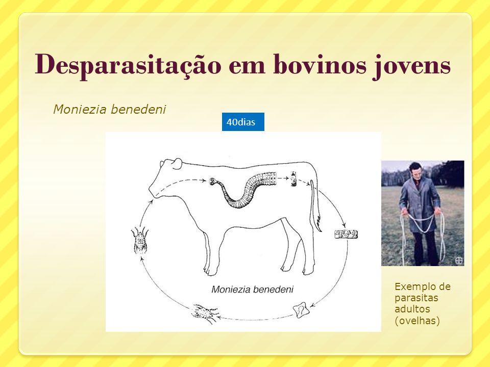 Desparasitação em bovinos jovens Moniezia benedeni 40dias Exemplo de parasitas adultos (ovelhas)