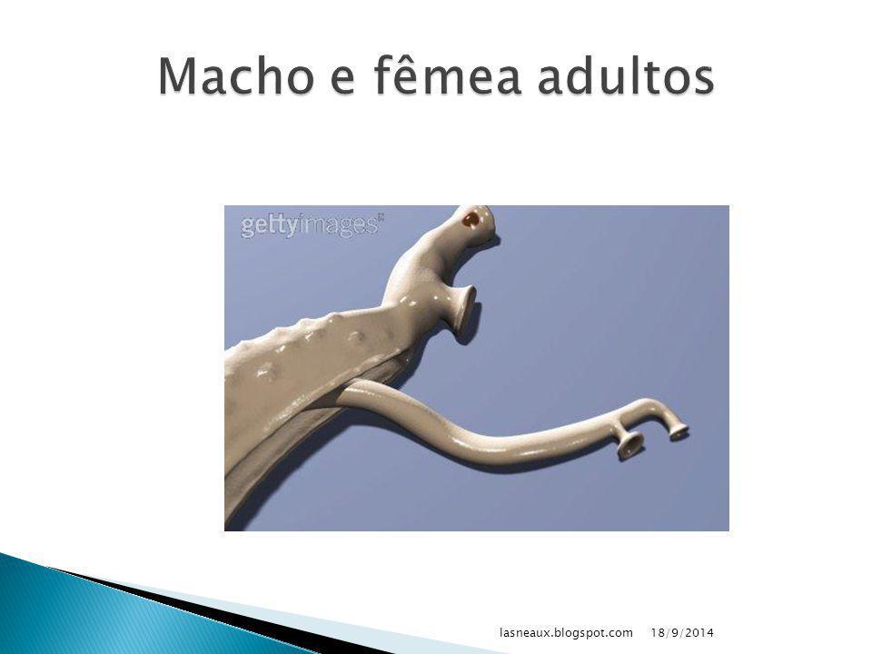  Esquistossomos: ◦ Bexiga ◦ Intestino ◦ Fígado: Schistosoma mansoni 18/9/2014lasneaux.blogspot.com