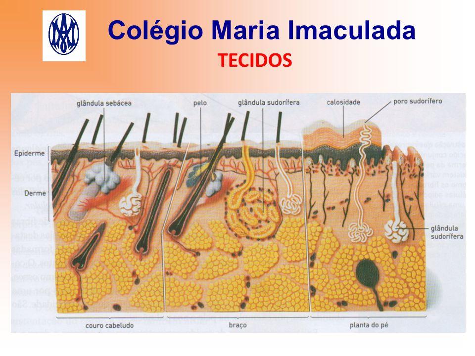 Colégio Maria Imaculada TECIDOS 2) MUCOSAS Revestem as cavidades de órgãos como a boca, nariz, estômago, intestinos.