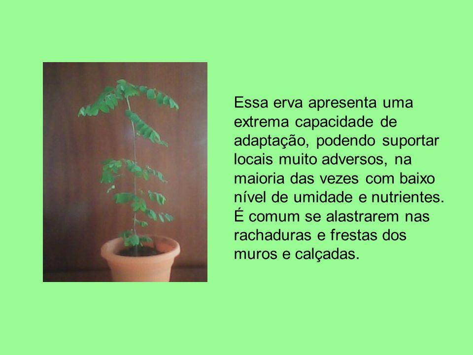 Essa erva apresenta uma extrema capacidade de adaptação, podendo suportar locais muito adversos, na maioria das vezes com baixo nível de umidade e nut