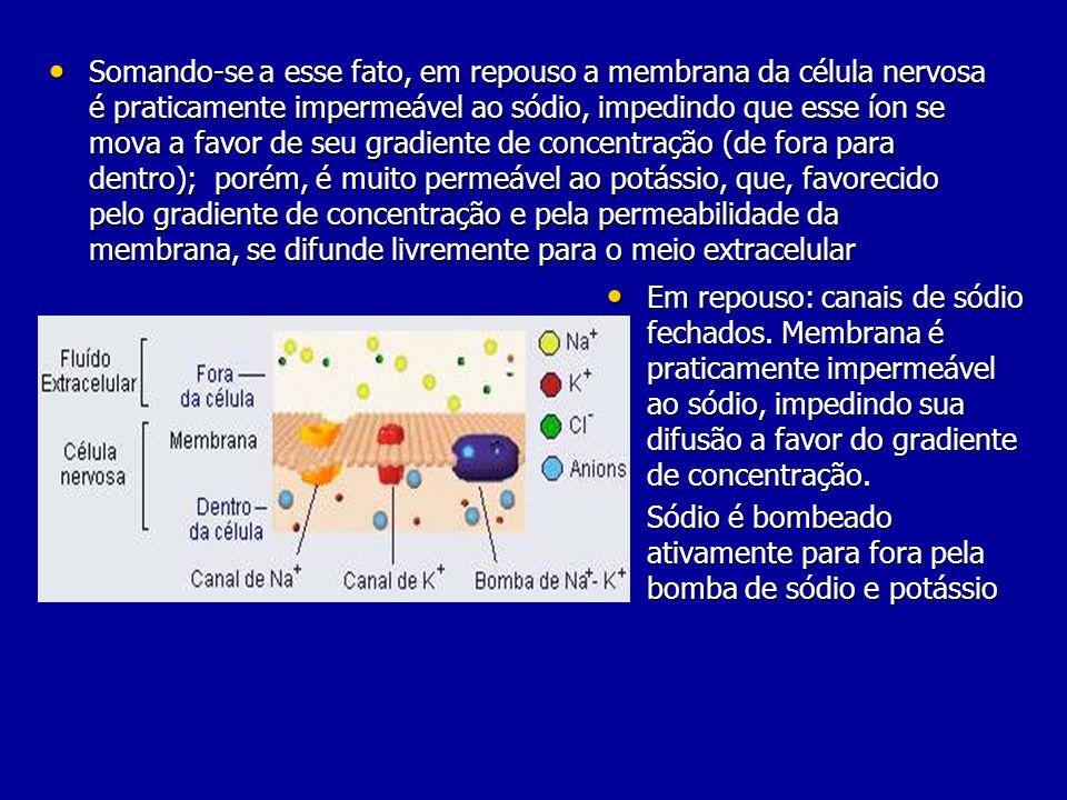 Somando-se a esse fato, em repouso a membrana da célula nervosa é praticamente impermeável ao sódio, impedindo que esse íon se mova a favor de seu gradiente de concentração (de fora para dentro); porém, é muito permeável ao potássio, que, favorecido pelo gradiente de concentração e pela permeabilidade da membrana, se difunde livremente para o meio extracelular Somando-se a esse fato, em repouso a membrana da célula nervosa é praticamente impermeável ao sódio, impedindo que esse íon se mova a favor de seu gradiente de concentração (de fora para dentro); porém, é muito permeável ao potássio, que, favorecido pelo gradiente de concentração e pela permeabilidade da membrana, se difunde livremente para o meio extracelular Em repouso: canais de sódio fechados.
