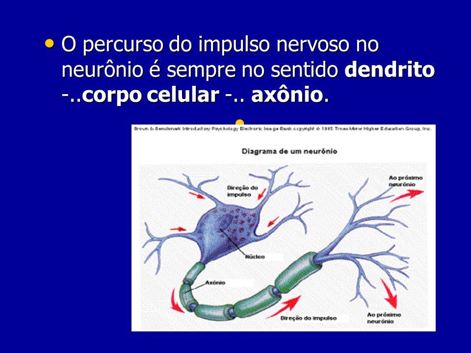 O percurso do impulso nervoso no neurônio é sempre no sentido dendrito -..corpo celular -..