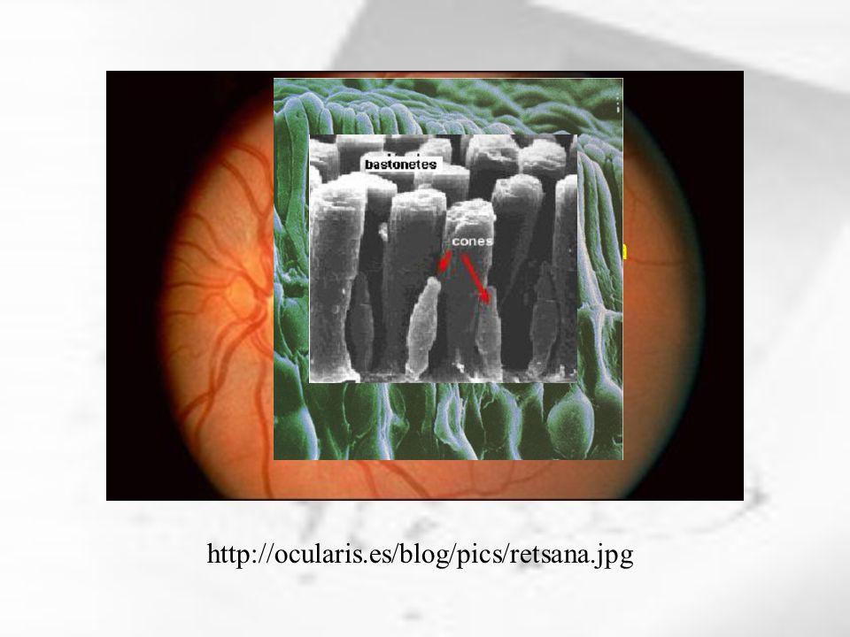 http://ocularis.es/blog/pics/retsana.jpg Fóvea Nervo Óptico