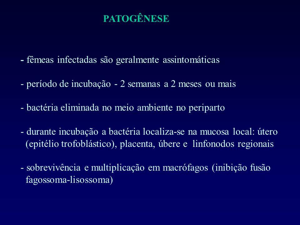 PATOGÊNESE - fêmeas infectadas são geralmente assintomáticas - período de incubação - 2 semanas a 2 meses ou mais - bactéria eliminada no meio ambiente no periparto - durante incubação a bactéria localiza-se na mucosa local: útero (epitélio trofoblástico), placenta, úbere e linfonodos regionais - sobrevivência e multiplicação em macrófagos (inibição fusão fagossoma-lisossoma)