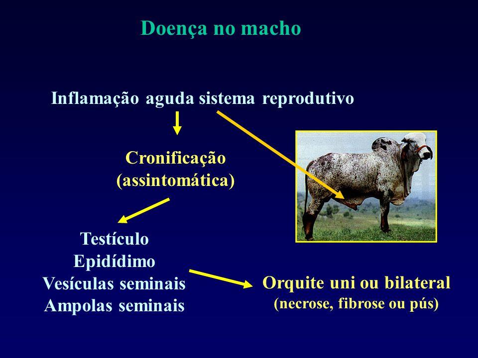 Inflamação aguda sistema reprodutivo Cronificação (assintomática) Testículo Epidídimo Vesículas seminais Ampolas seminais Orquite uni ou bilateral (necrose, fibrose ou pús) Doença no macho