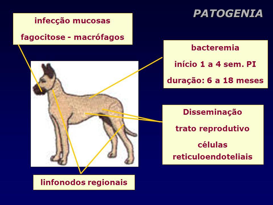 PATOGENIA infecção mucosas fagocitose - macrófagos linfonodos regionais bacteremia início 1 a 4 sem. PI duração: 6 a 18 meses Disseminação trato repro