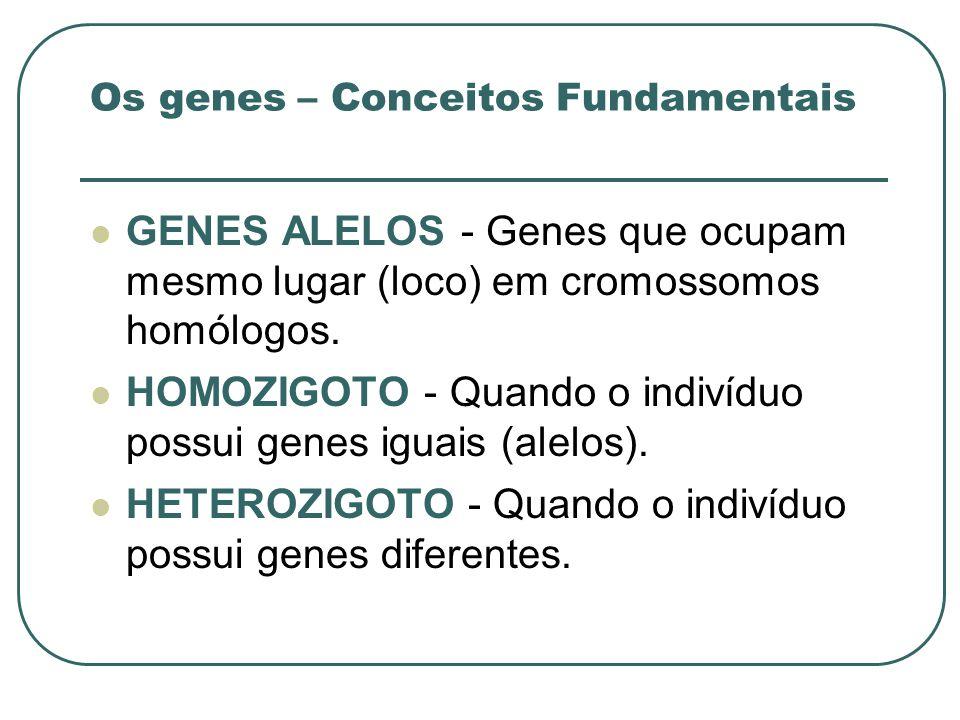 Os genes – Conceitos Fundamentais GENES ALELOS - Genes que ocupam mesmo lugar (loco) em cromossomos homólogos. HOMOZIGOTO - Quando o indivíduo possui