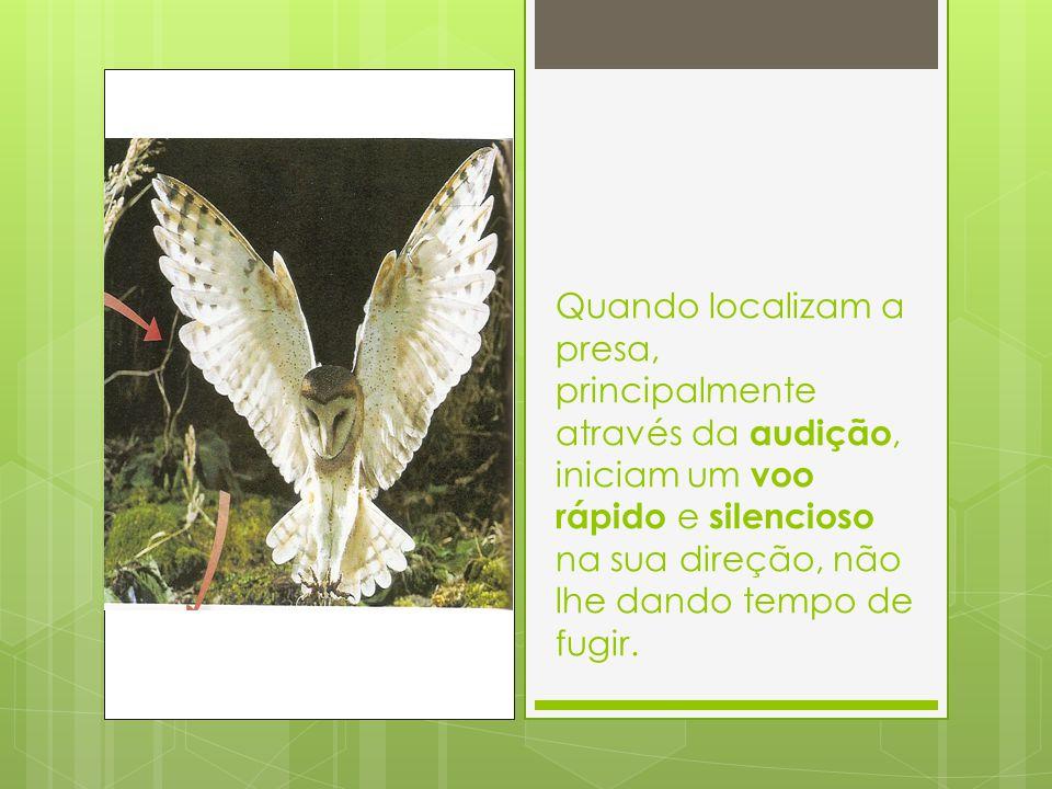 Quando localizam a presa, principalmente através da audição, iniciam um voo rápido e silencioso na sua direção, não lhe dando tempo de fugir.