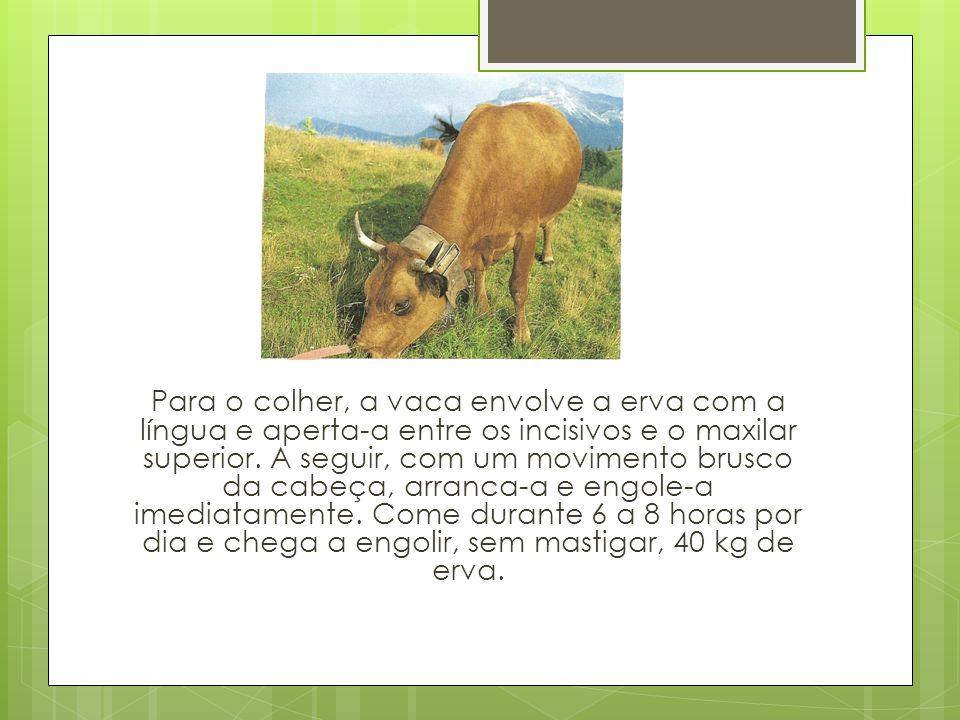 Para o colher, a vaca envolve a erva com a língua e aperta-a entre os incisivos e o maxilar superior. A seguir, com um movimento brusco da cabeça, arr