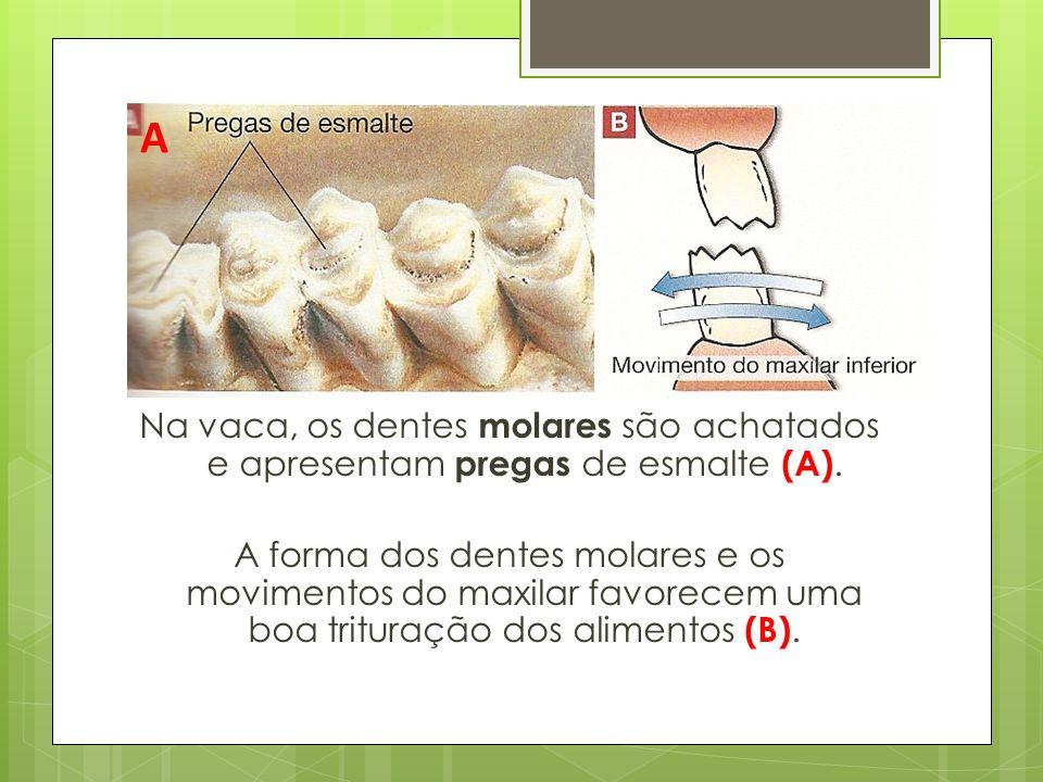 Na vaca, os dentes molares são achatados e apresentam pregas de esmalte (A). A forma dos dentes molares e os movimentos do maxilar favorecem uma boa t