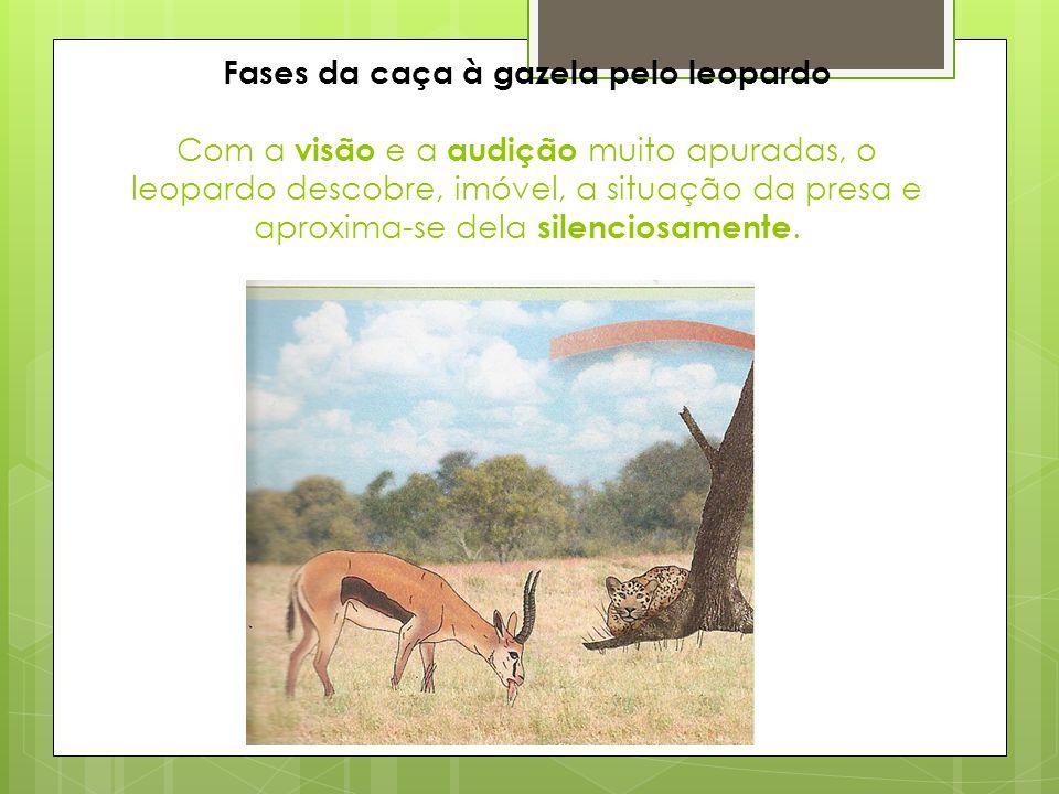 Mais tarde, quando o animal descansa e se sente em segurança, a erva volta à boca, onde é bem triturada pelos molares (ruminação).