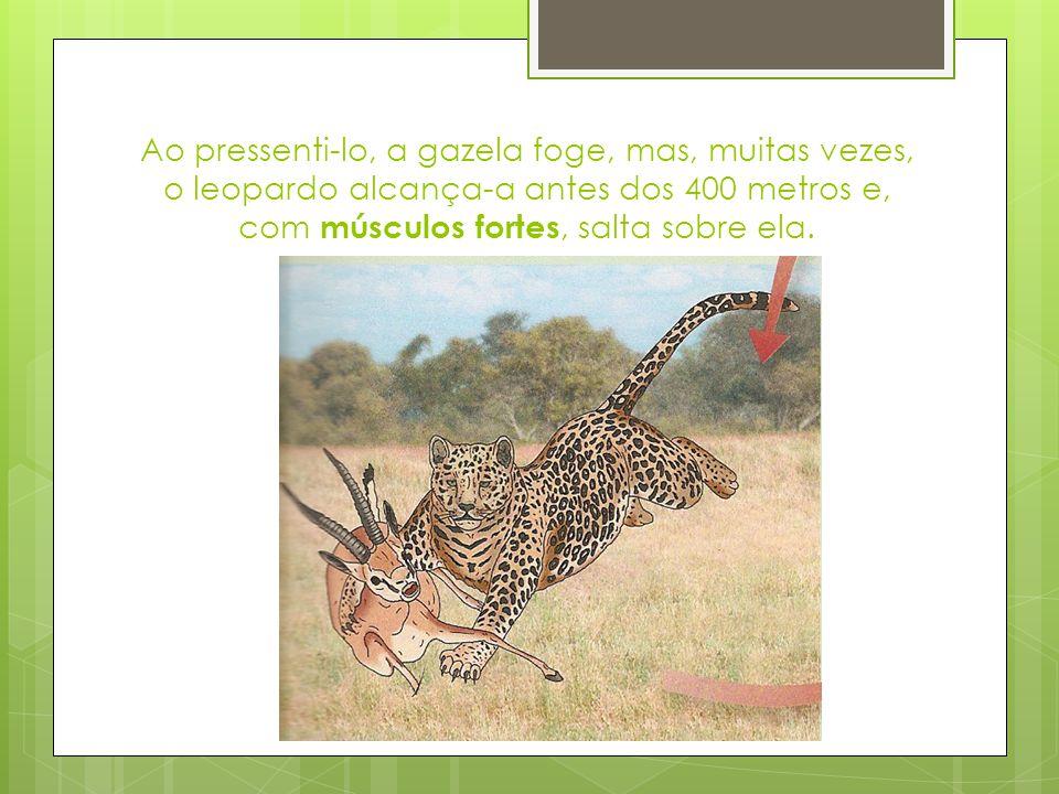 Ao pressenti-lo, a gazela foge, mas, muitas vezes, o leopardo alcança-a antes dos 400 metros e, com músculos fortes, salta sobre ela.